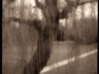 седое дерево